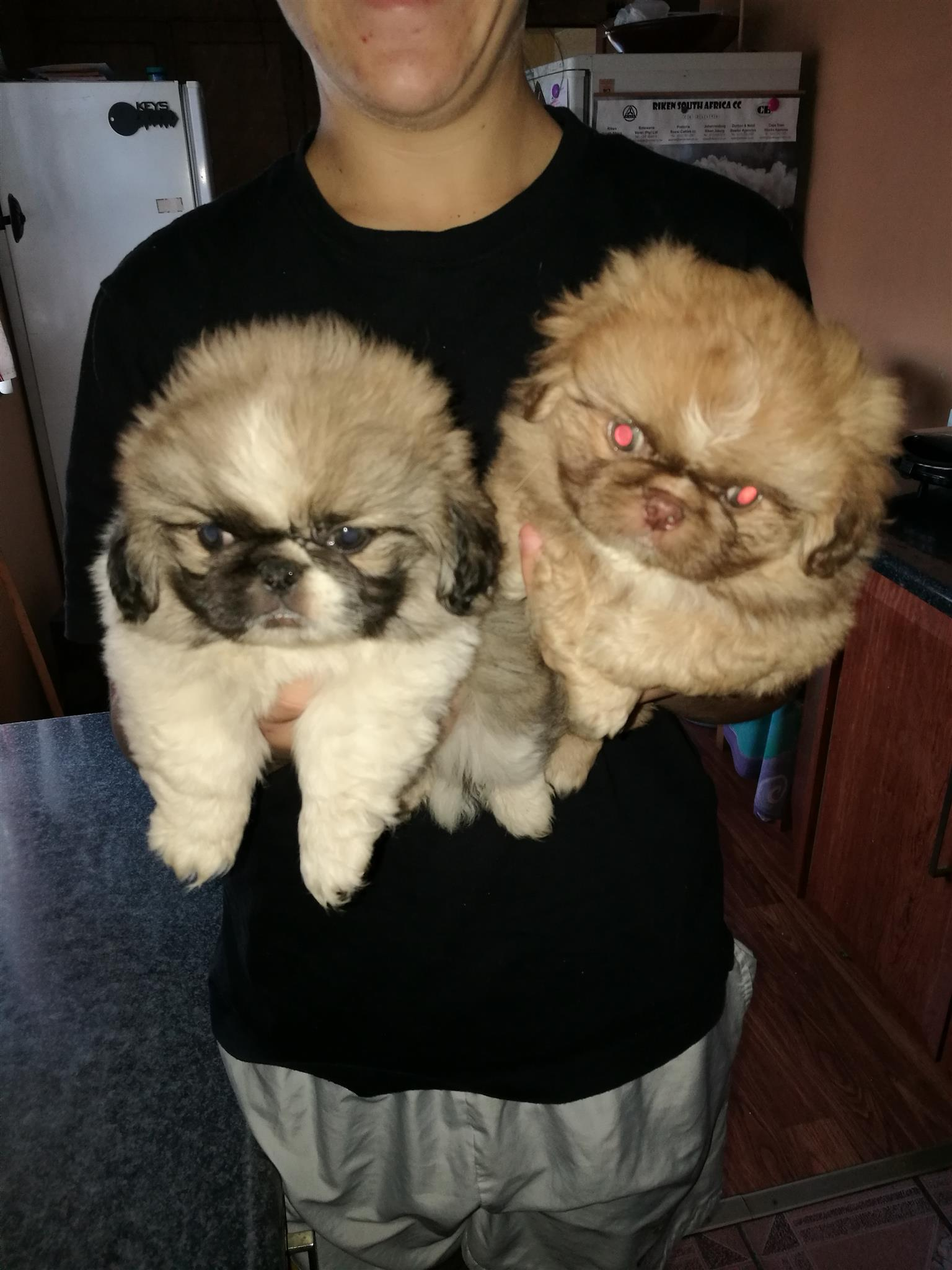 Pekingese puppies for sale | Junk Mail