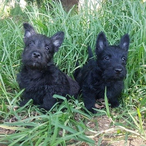 Beautiful Scotty babies