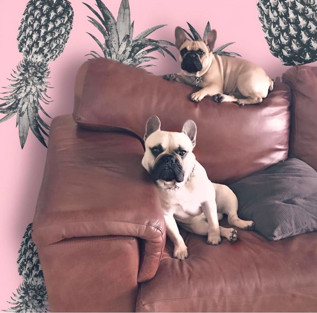 Pure bred French Bulldog puppies