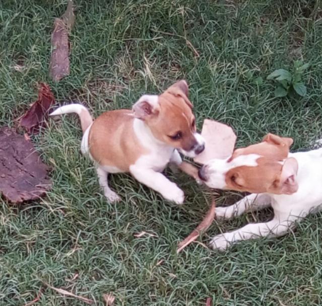 Canine registered Jack Russells parents