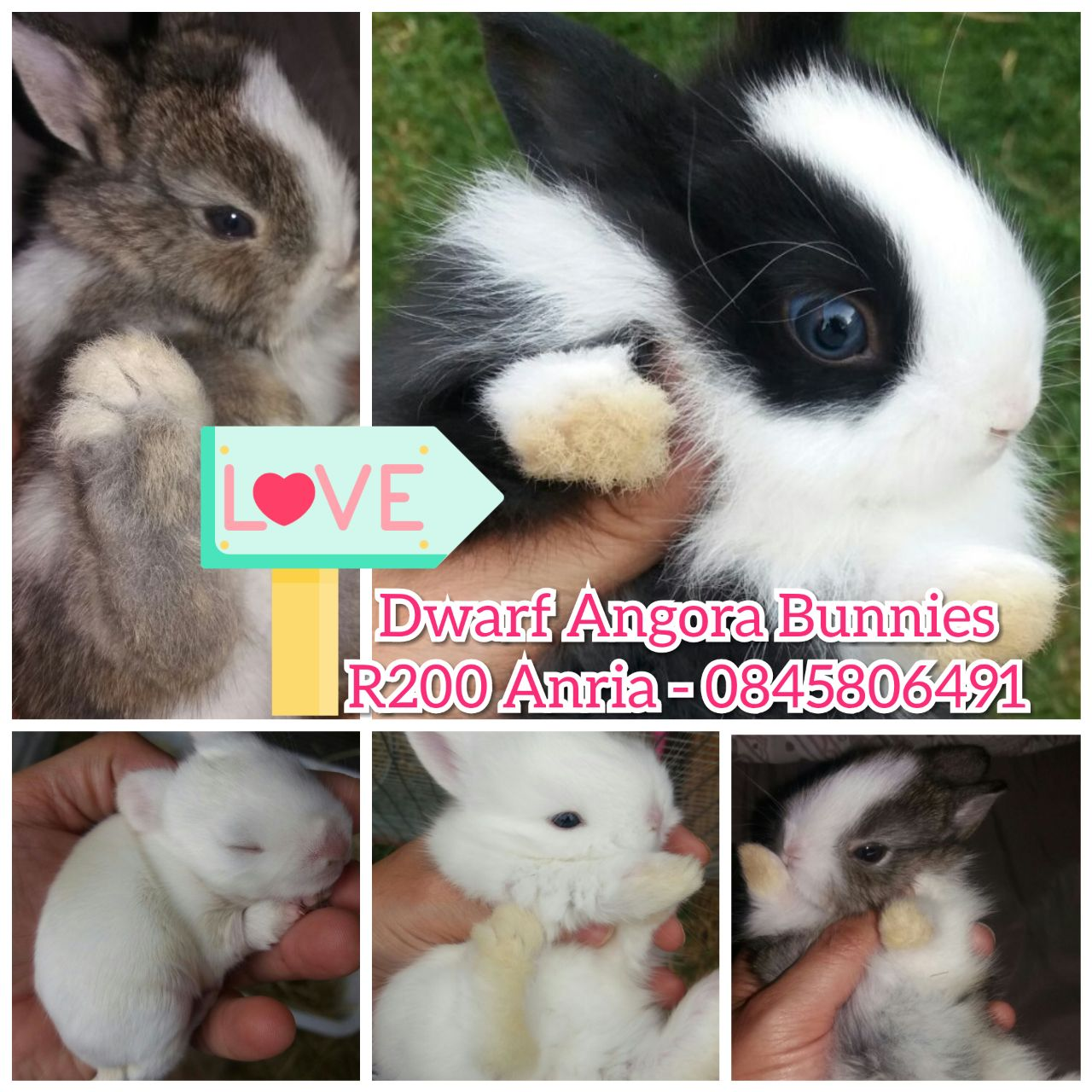 Dwarf angora (jersey wooly) bunnies for sale - very cute!