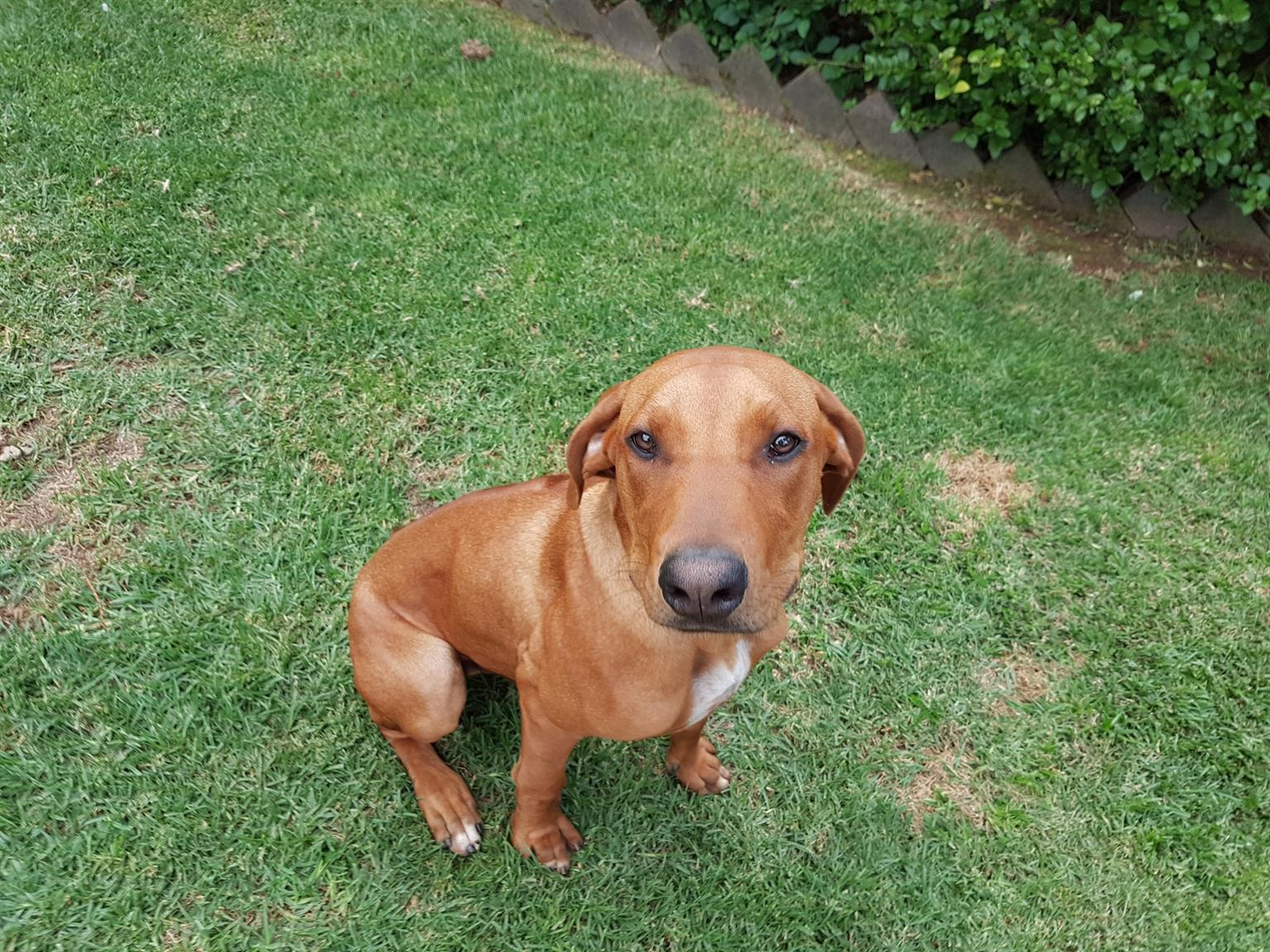 RIdgeback, 7 months old looking for new owner. Ready to go at 8weeks.