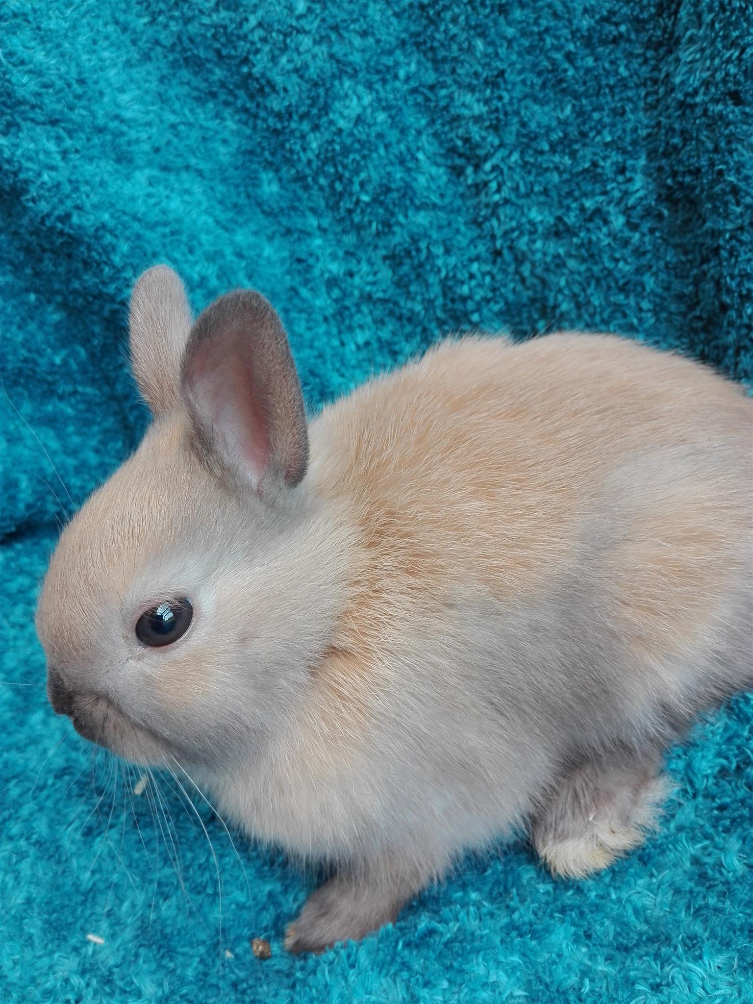 Angora Dwarf Rabbits