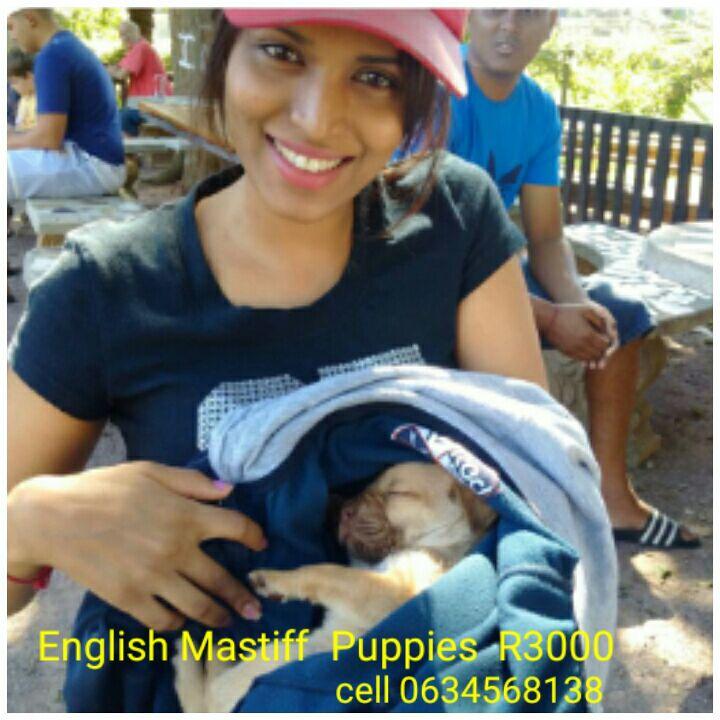 mastiff puppies R2500