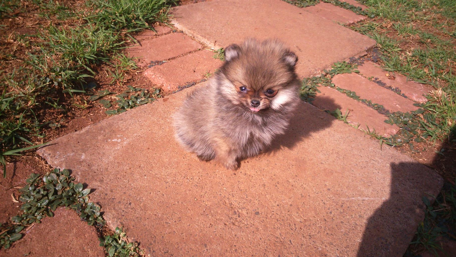 Registered Toypom females ( toy poms- Pomeranians )