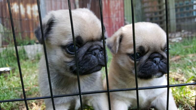 2 Pug Puppies