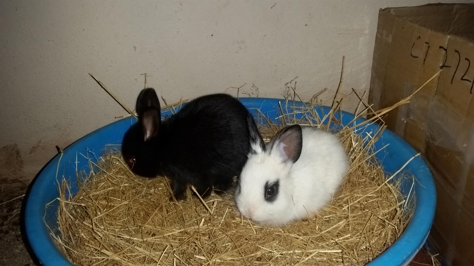 Bunnies for sale R60 each