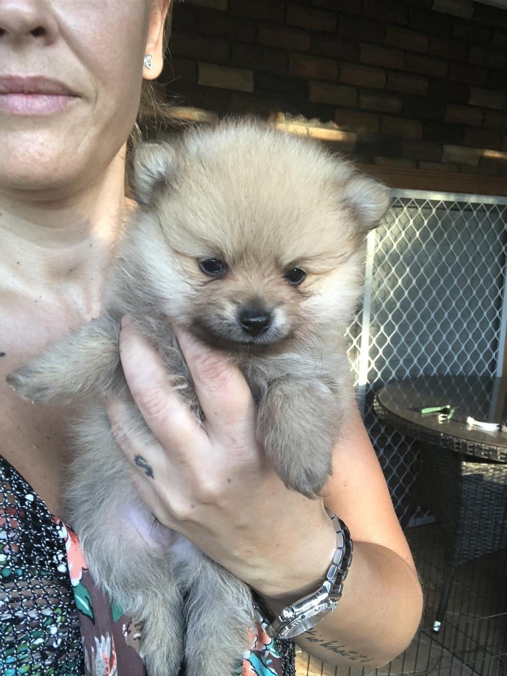 Miniature Purebred Pomeranian puppies   Junk Mail