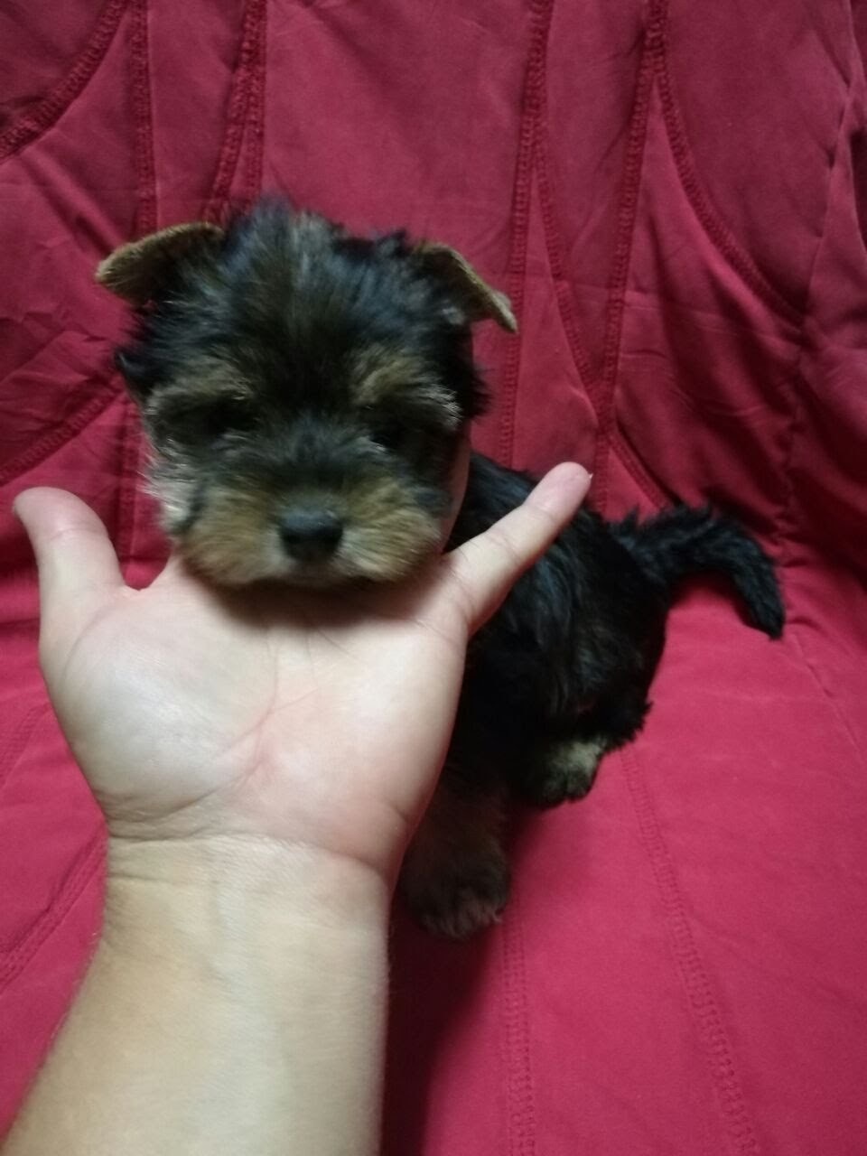 YORKIE MALE (TEA CUP SIZE