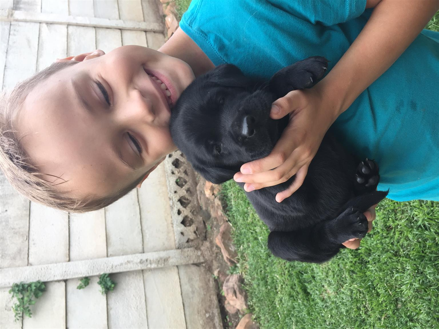 KUSA registered Labrador puppies for sale