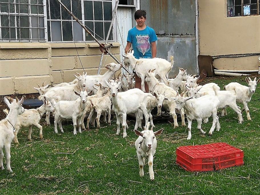 Saanen Goat Rams 3-6 months old R45/kg Live Weight