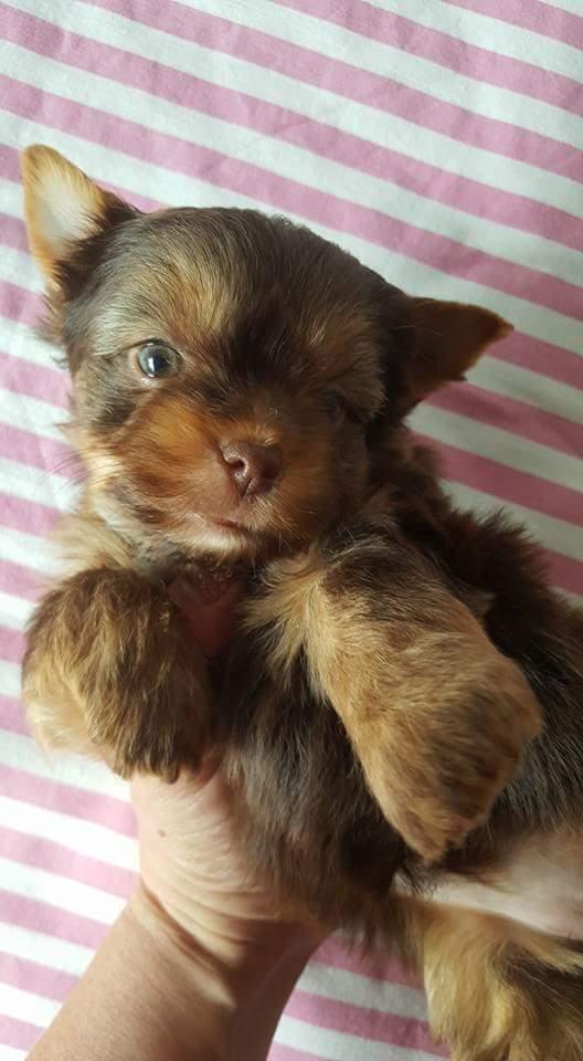 Chocolate Yorkshire terrier girl