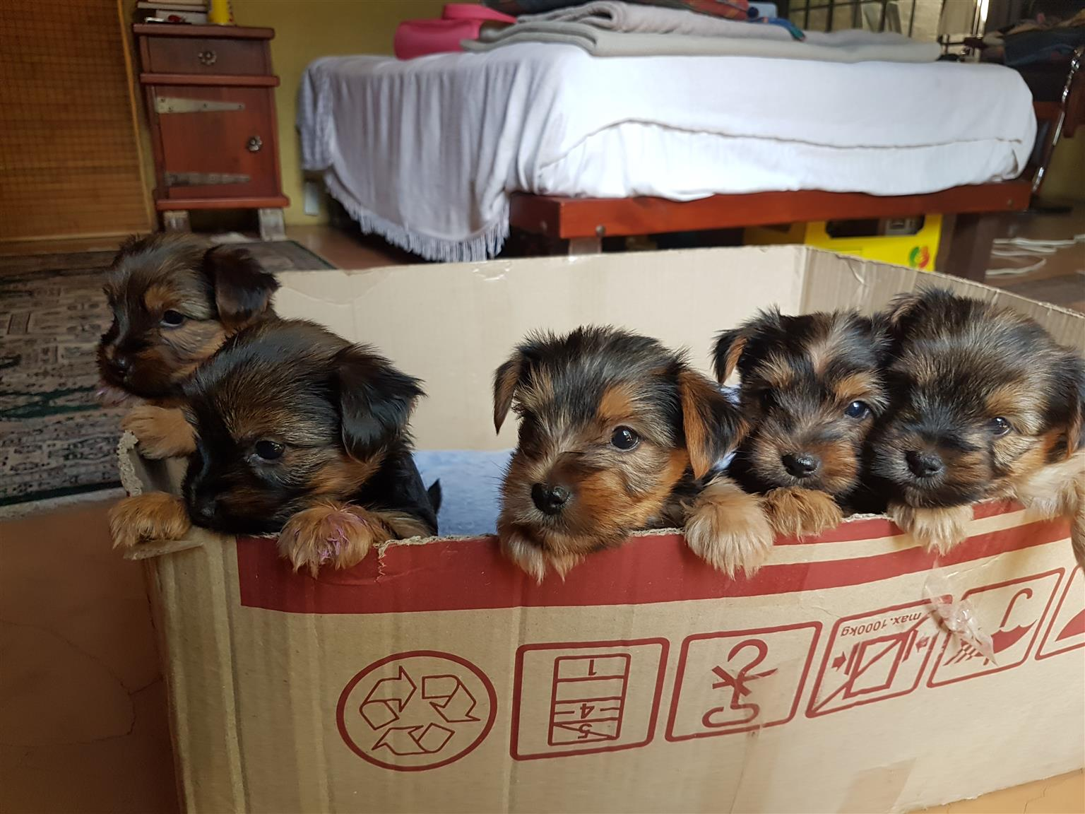yorkie puppies - large size