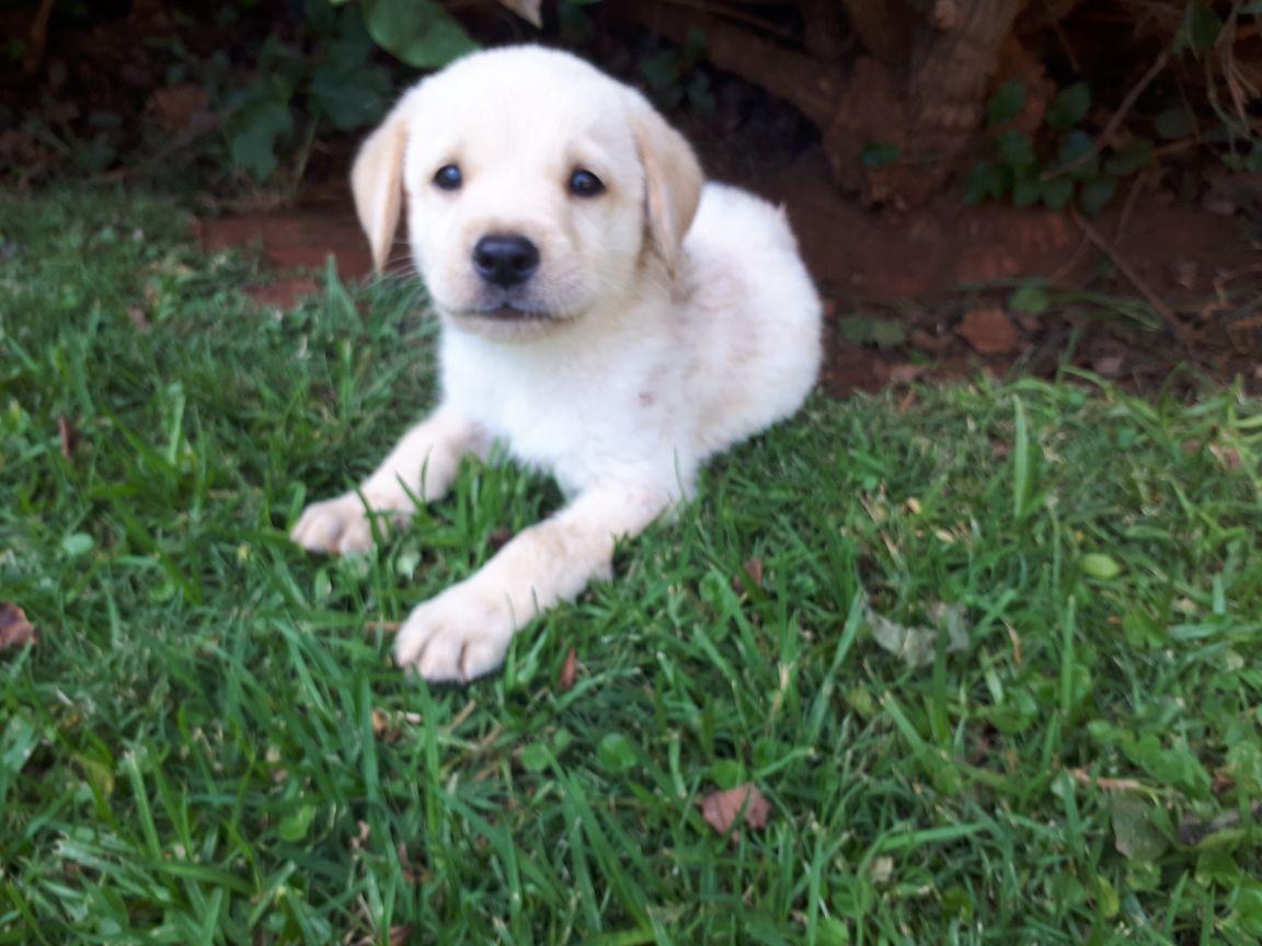 White Labrador male puppie