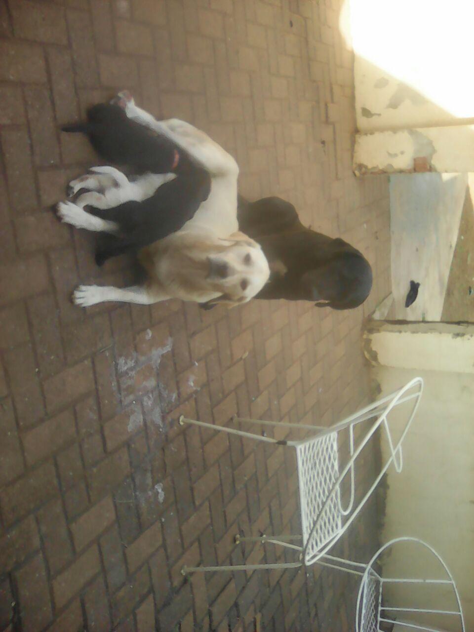 Labrador pups.