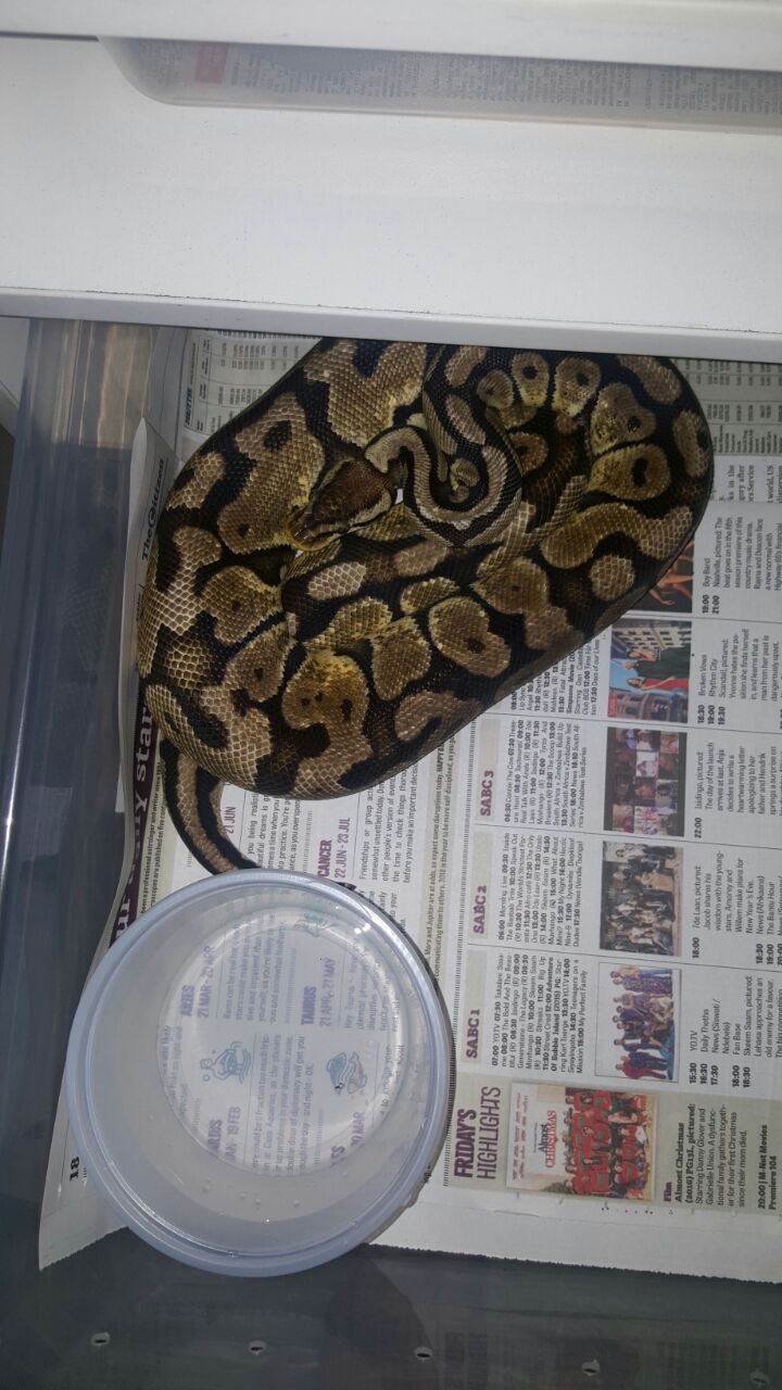 Ball pythons for sale Midrand