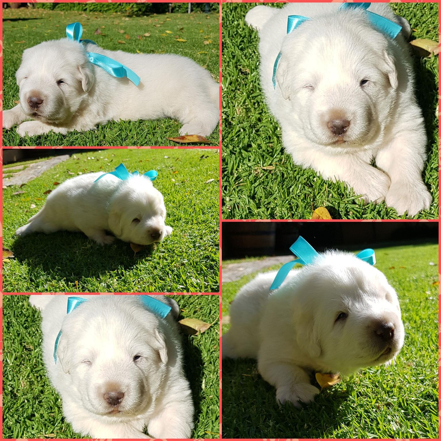Great Piranese Mountain Dog Puppy