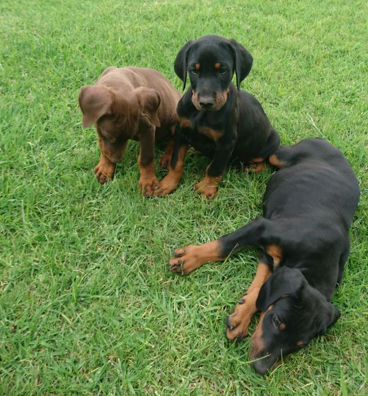Pure bred Doberman puppies