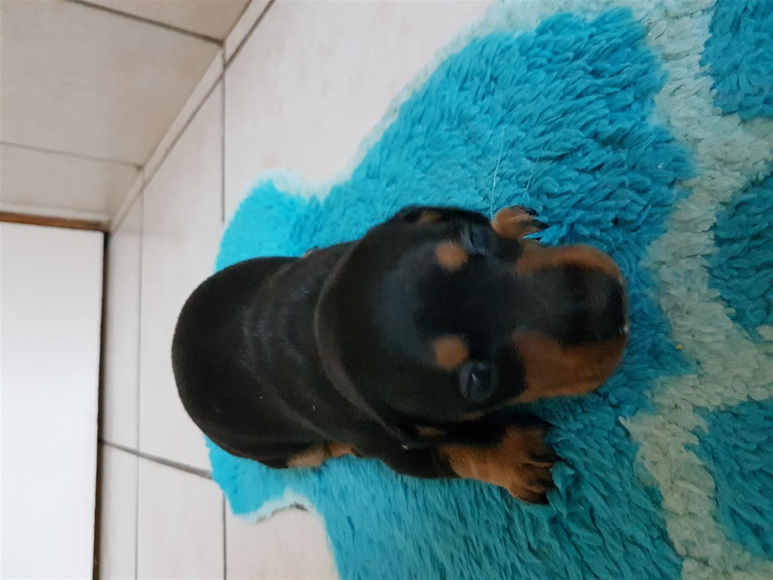 Worsie puppy