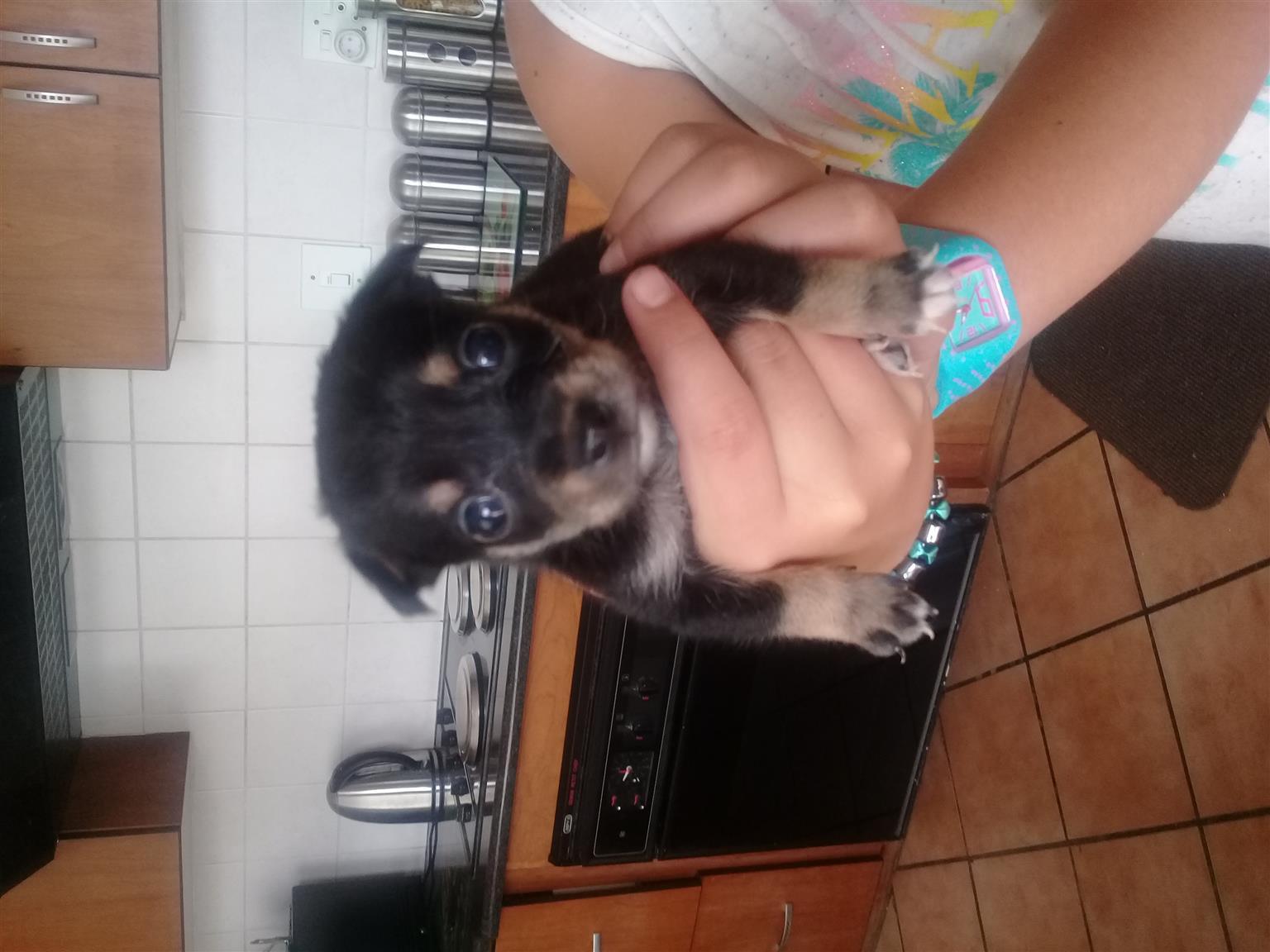 Chihuahua pinscher puppies