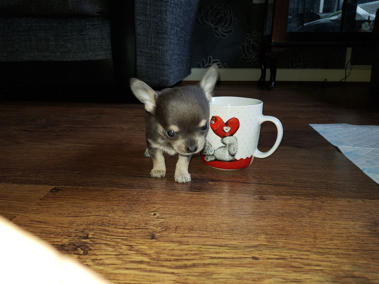 Smooth Coat Chihuahua Puppies For Sale Book Yours Now