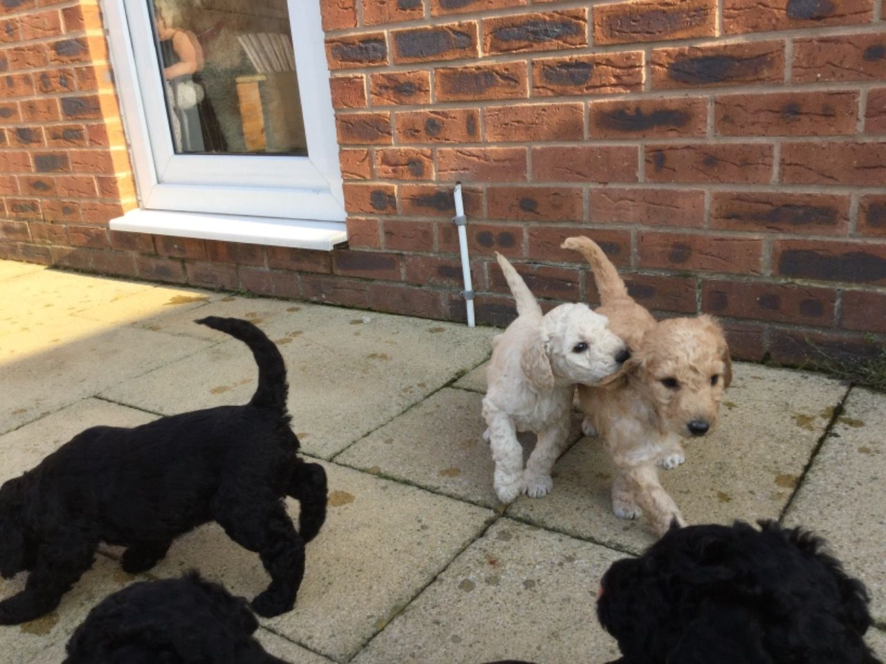 French Standard Poodle Puppies
