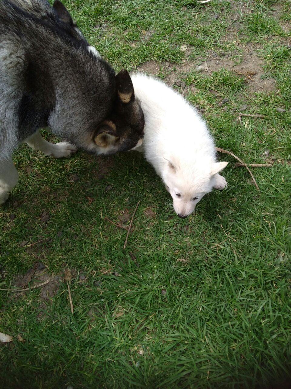 Siberian Husky pups White