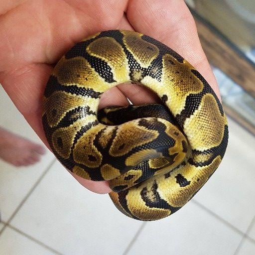 Ball pythons baby R250ea