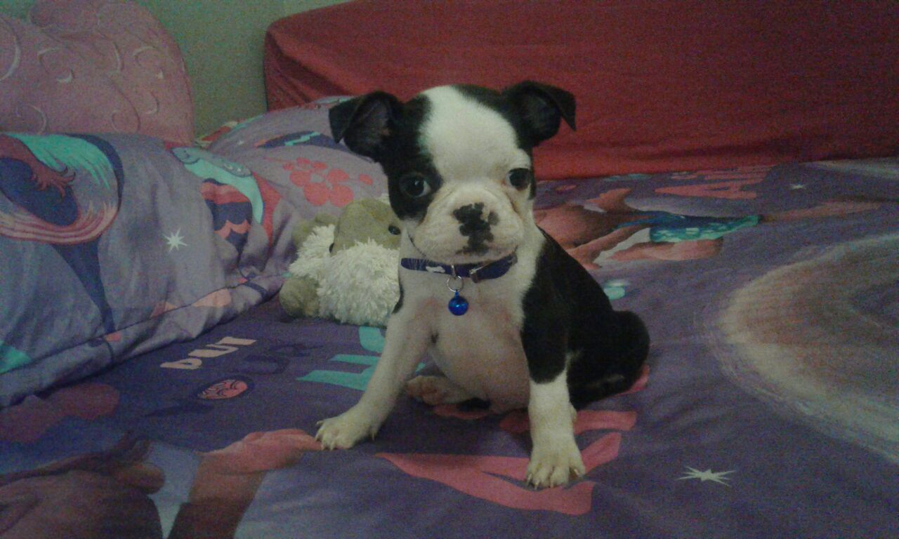 Boston terrier 4xmale puppies with hamper