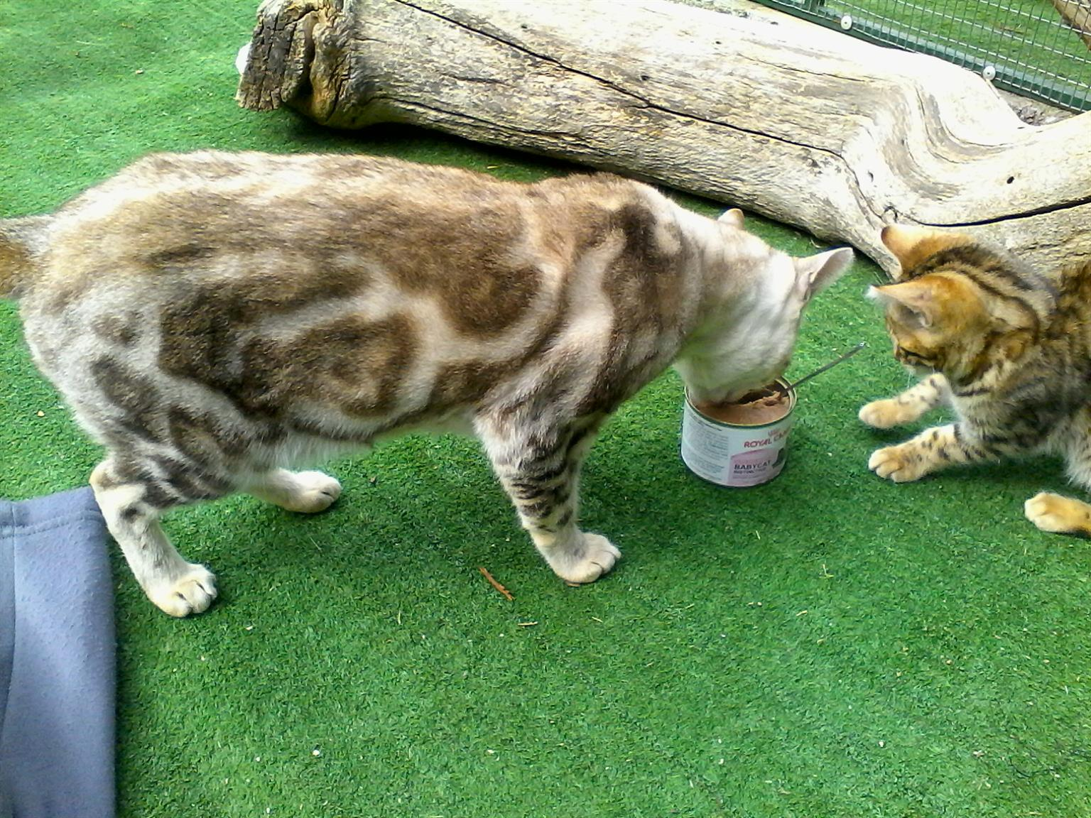MOST BEAUTIFULL BENGAL KITTENS FOR SALE