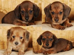 Daschund Puppies for Sale