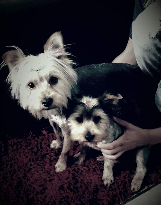 MALE YORKSHIRE TERRIERS LOOKING FOR A LOVING HOME