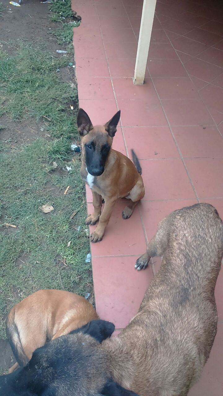 One Male Malinois Puppy for sale