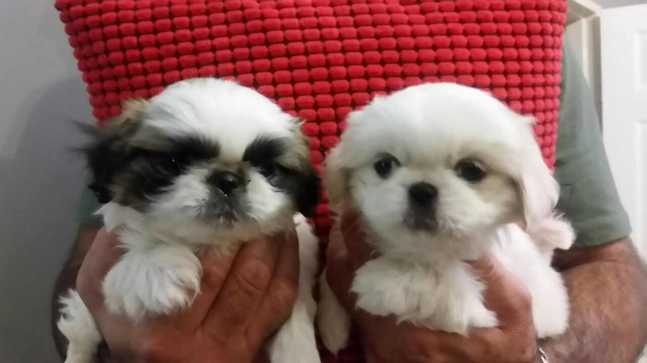 Miniature Pekingese pups