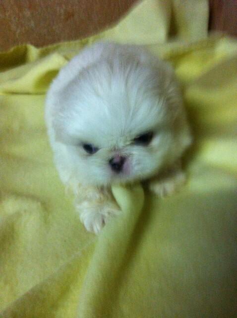 Beautiful Pekingese Puppies