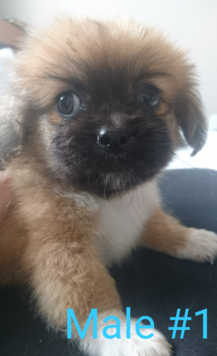 Pekingese X Toy Pom puppies