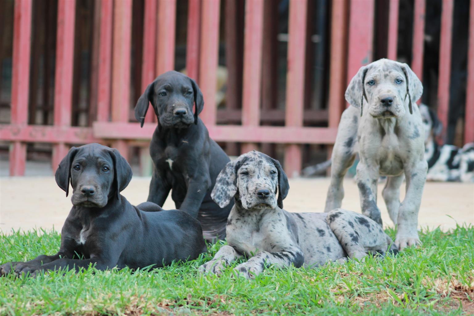 11 week old great Dane Puppies