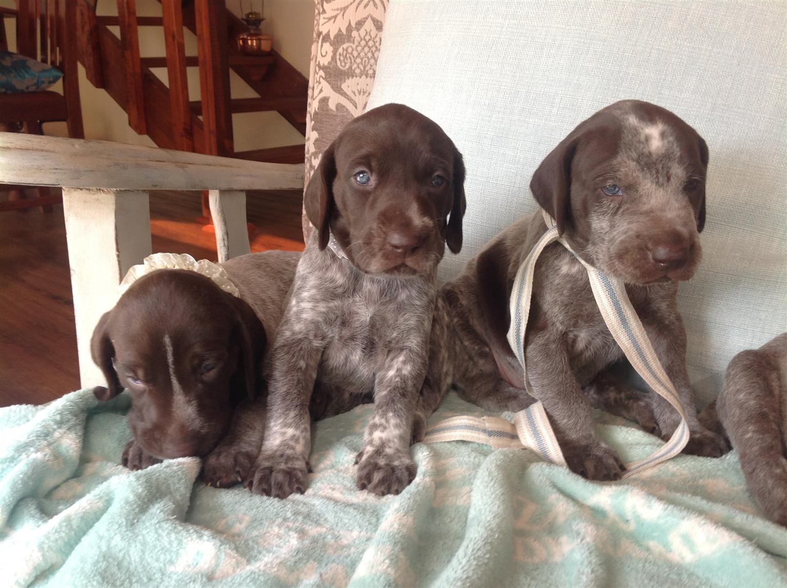 KUSA Registered German Shorthaired Pointer Puppies