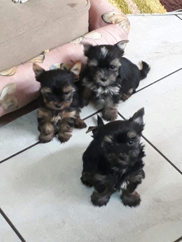 Pocket Yorkie Puppies Available