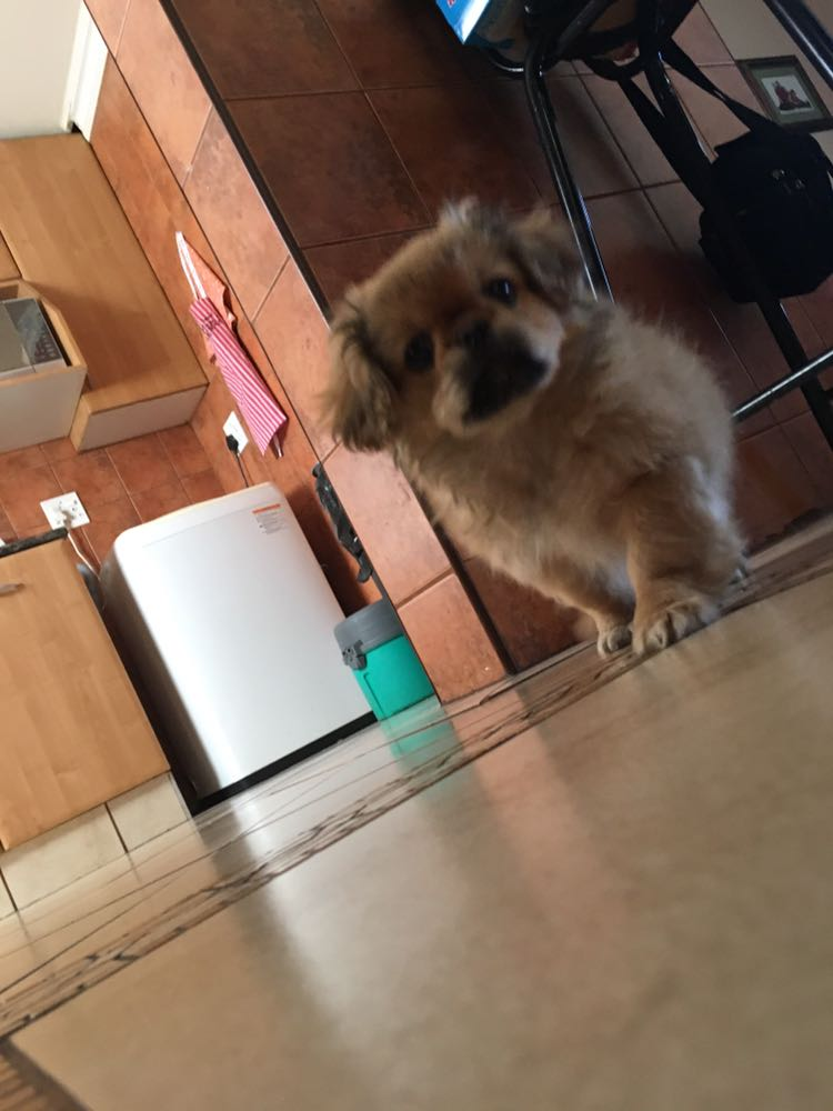 Adorable Pekinese Puppy for Sale