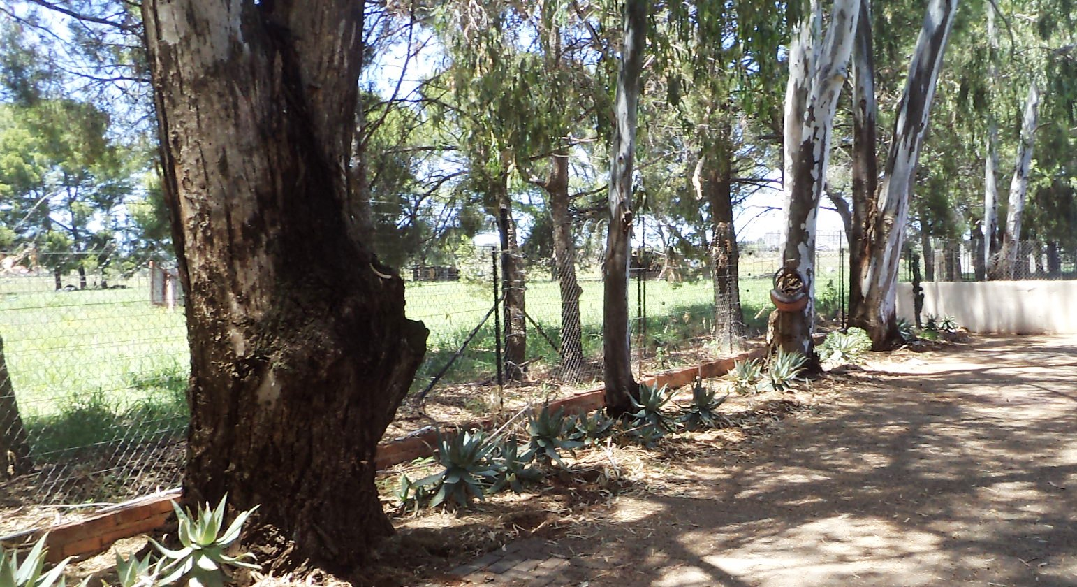 EUCALYPTUS (Bluegum) trees - FREE -to be felled by you
