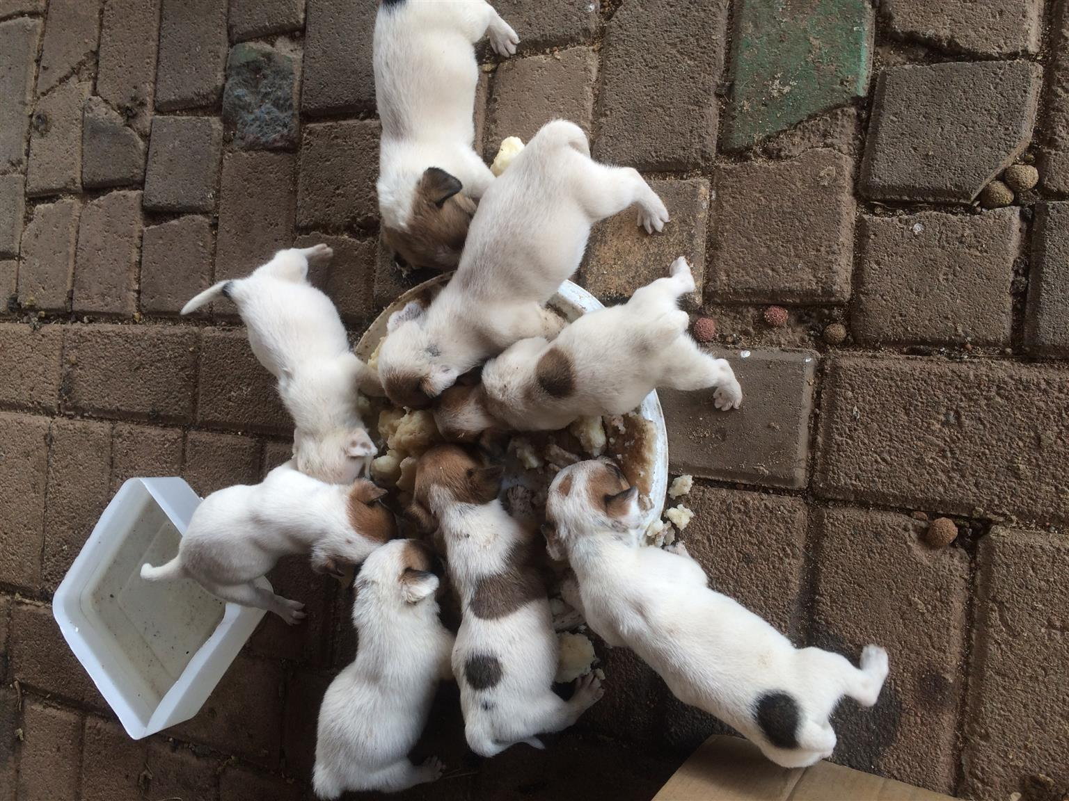 Pure breed Jack Russel pups