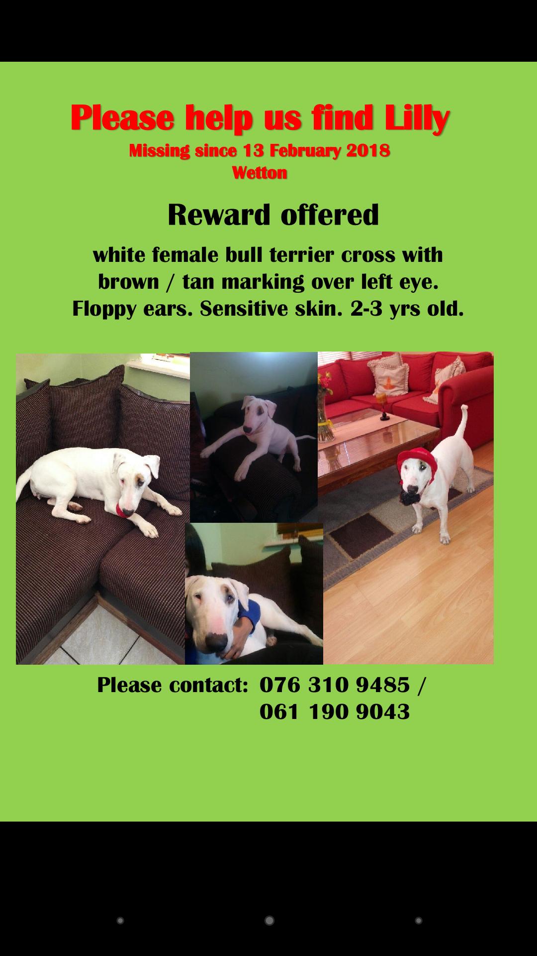 Missing: White female bull terrier