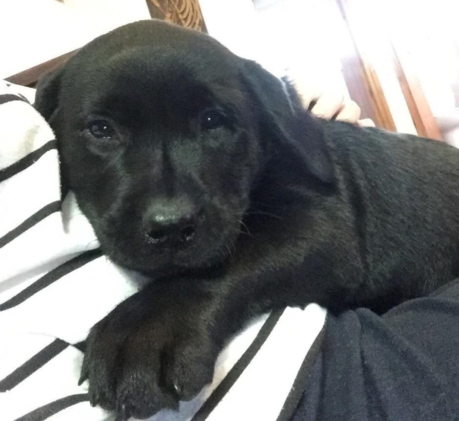 KUSA Registered Labrador Retriever puppy