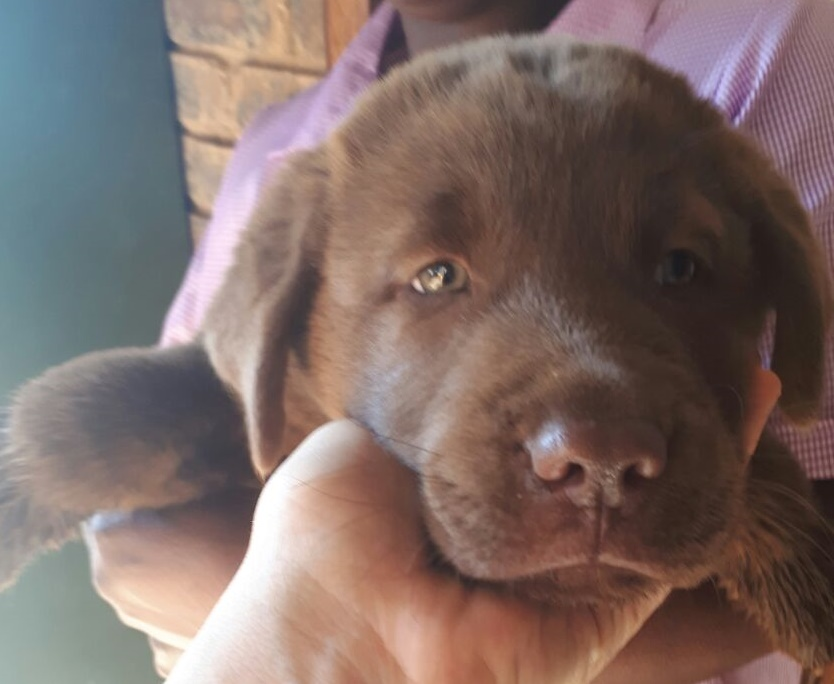 Brown Labrador and Miniature Chow Cross - Puppies for Sale