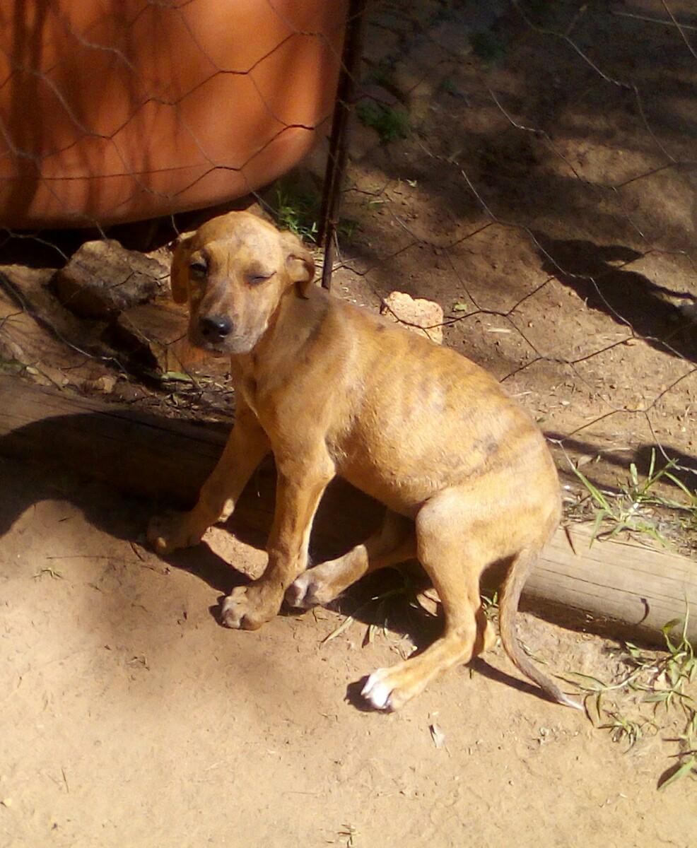 Great Dane female puppy