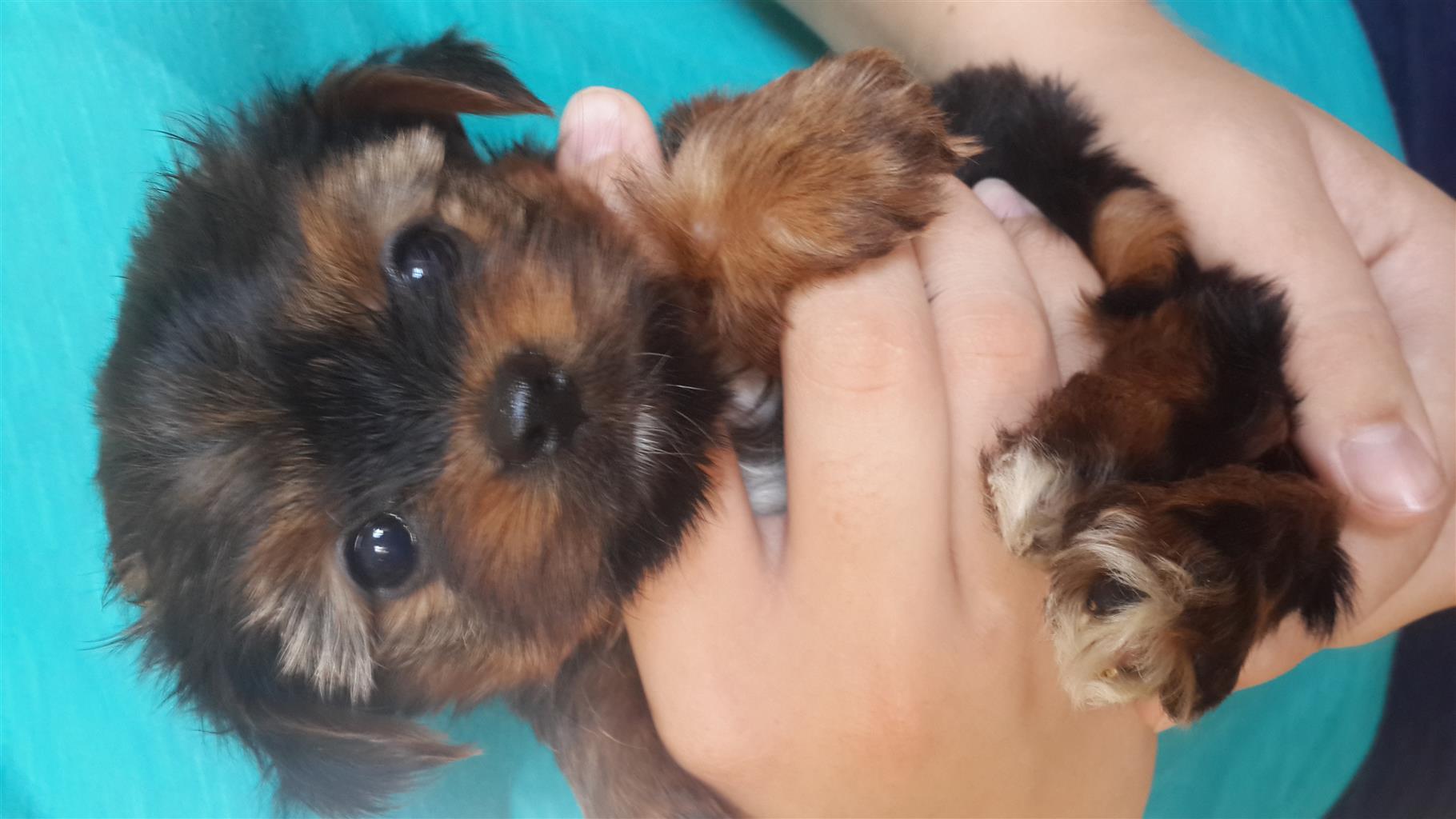 Yorkie puppies smaller type