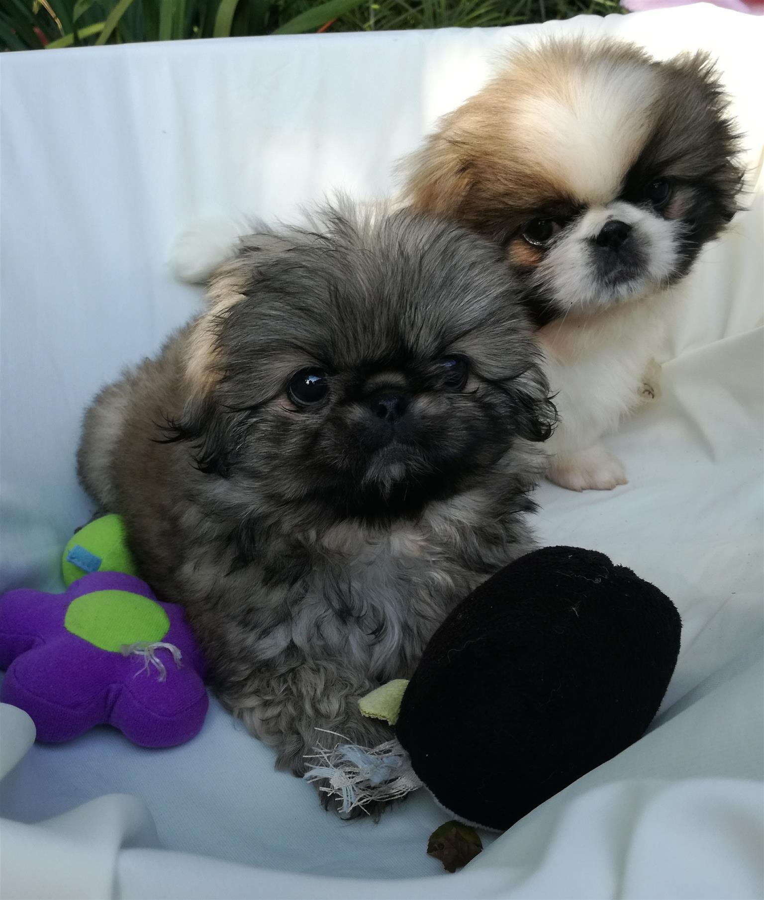 Shih Tzu /mini maltese puppies