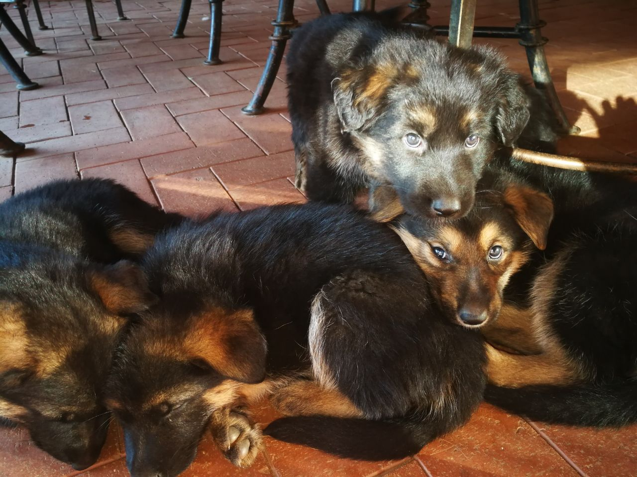 Purebred German Shepard Puppies