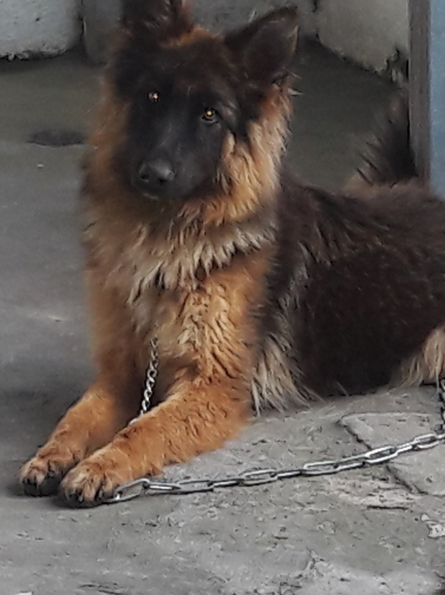 GERMAN SHEPHERD 0714406829